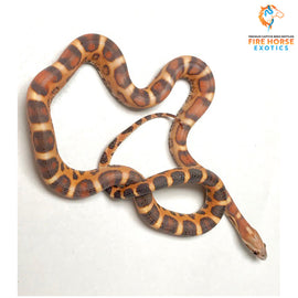 Corn Snake (scale less) - Breeder - male