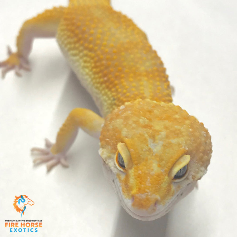 Leopard Gecko - Breeder - male
