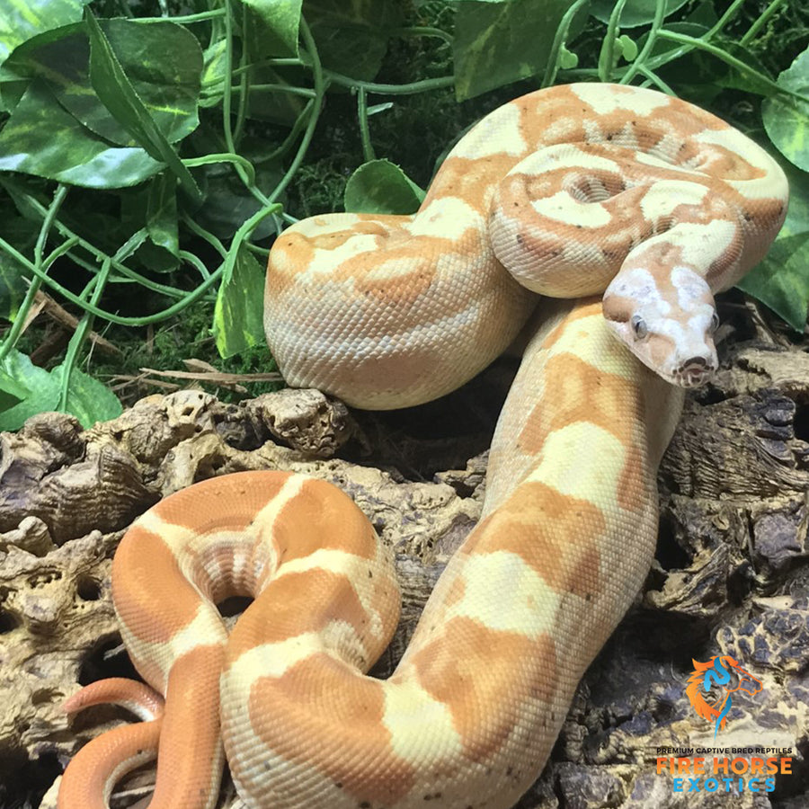 VPI Sunglow Motley Boa - Breeder - Male