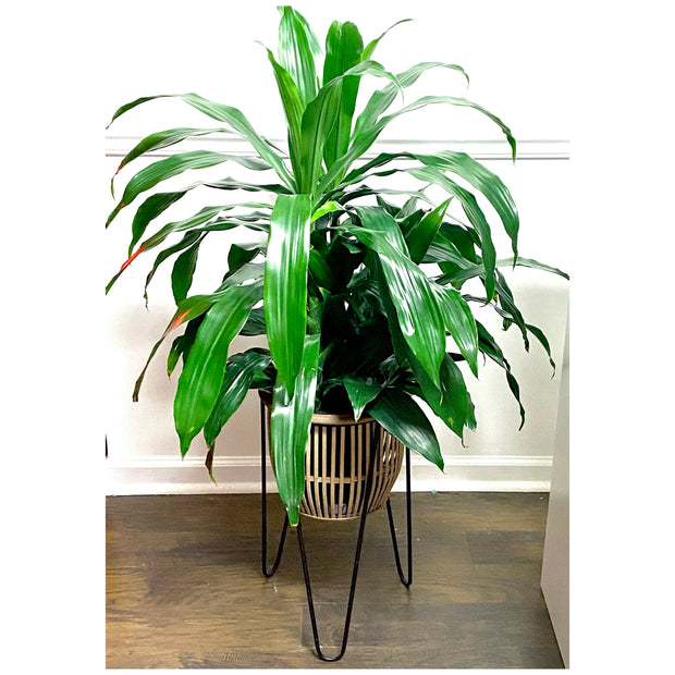 Dracaena in Plant Stand