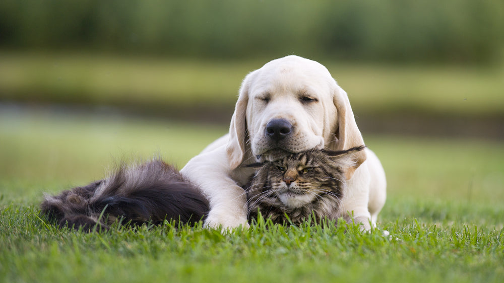 Dogs and Cats: How to Make Them Coexist Happily