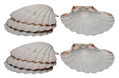 HIC Harold Import Co. 45679 Hic Harold Import Company Baking Shells (Set of 8), 4, Natural Seashell