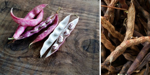 harvesting-dried-heirloom-beans