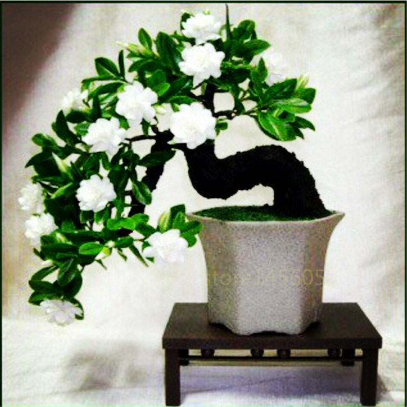 20pcsbag Jasmine Bonsai Flower Perennial Indoor Potted Plants White