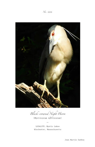 BLACK-CAPPED NIGHT HERON POSTER