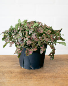Fittonia - Nerve Plant - Pink