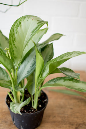 Aglaonema - Chinese Evergreen - Silver Bay