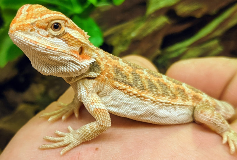 Bearded Dragon Care