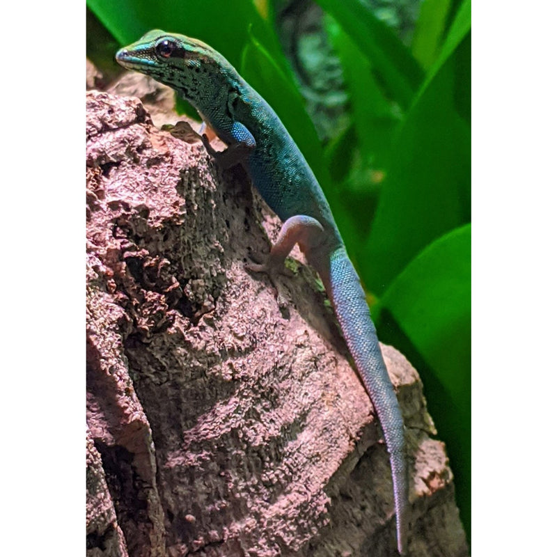 Aquariums West at Electric Blue Day Gecko