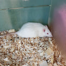 Male Albino Rat