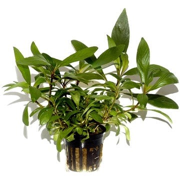 Tropica Potted Hygrophila costata