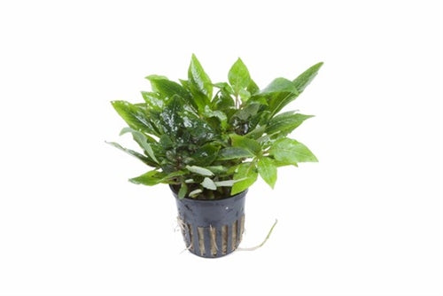 Tropica Potted Hygrophila 'Compact'