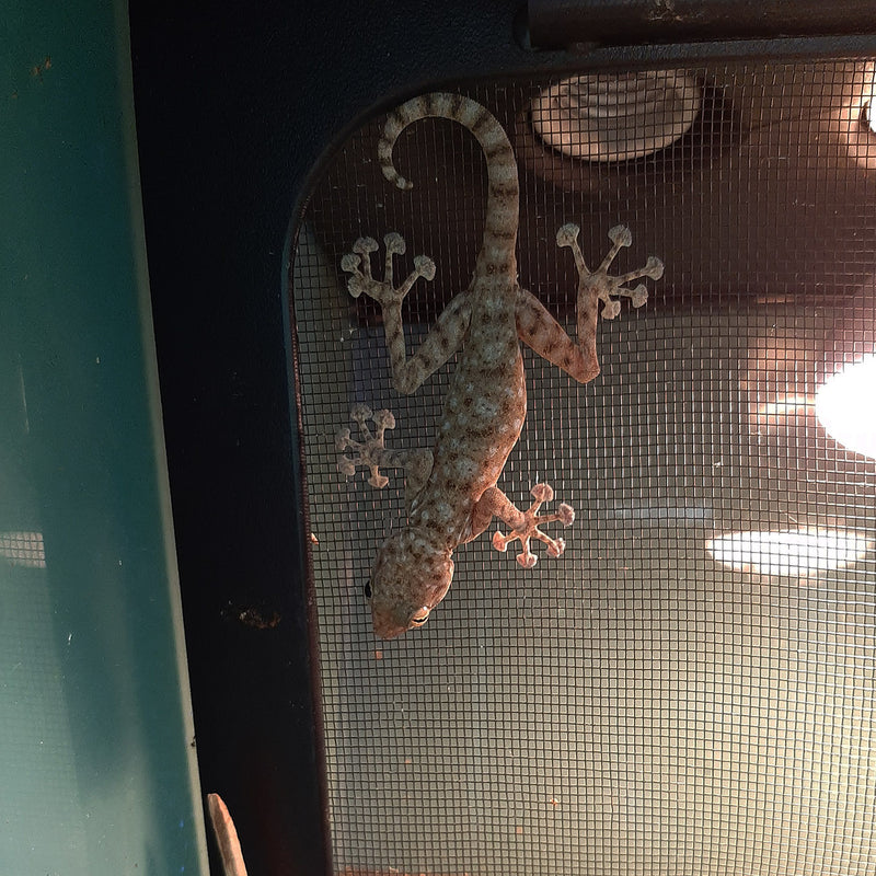 Lizard - Gecko - Fan Footed