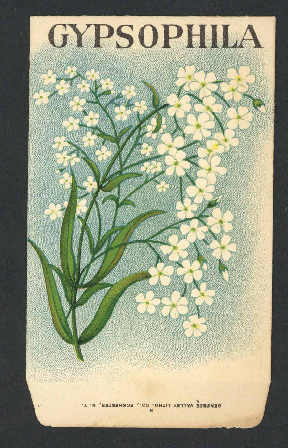 Gypsophila Antique Stock Seed Packet