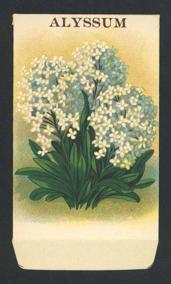 Alyssum Antique Stock Seed Packet