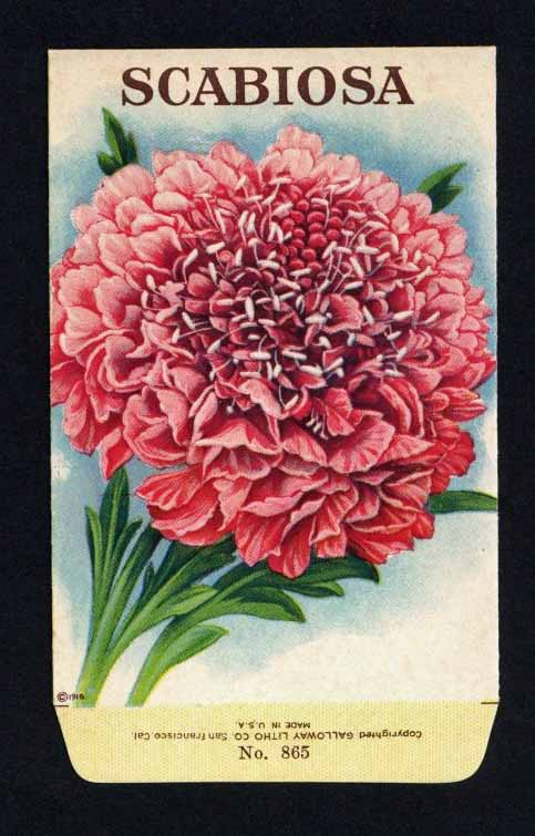 Scabiosa Antique Stock Seed Packet