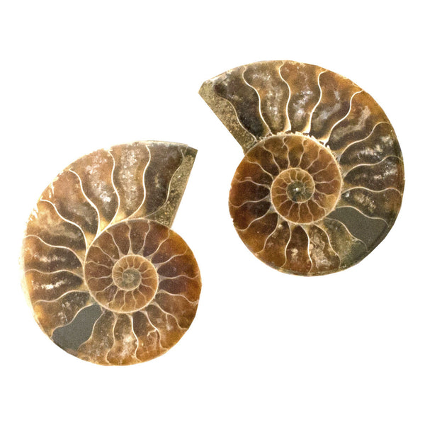 Ammonite Fossil | TRIBE Jewelry | Home Decor