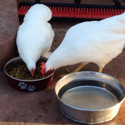articles/No_chicken_in_V-dog_so_chickens_love_it_134a592b-1e0e-4f56-ae52-7933050ad25d.png