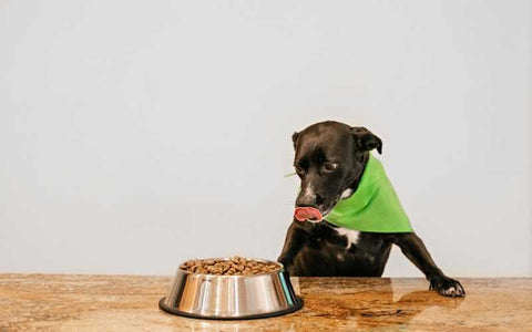 dog eating kibble