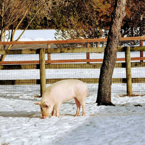 Saraphina the pig