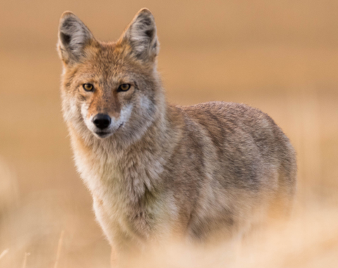coyote looks into the camera