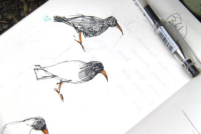 Chough sketches