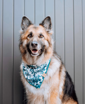 Adorable German Shepard in Teal Paisley Dog Bandana made by Royal Collections and Co.