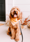 Adorable Goldendoodle in Harvest Dog Bandana made by Royal Collections and Co.