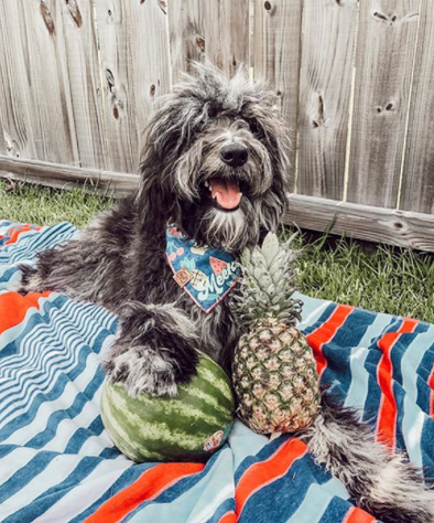 Cute AussieDoodle Dog in Picnic in the Park Summer Dog Bandana made by Royal Collections and Co.