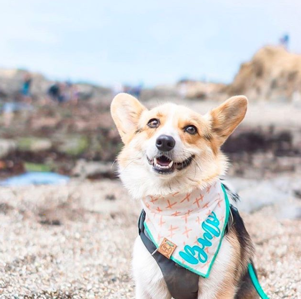 Cute Corgi Dog in Peach and Aqua X Summer Dog Bandana made by Royal Collections and Co.