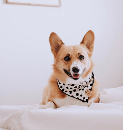 Cute Corgi in Dots for Days fall dog bandana made by royal collections and co signature luxe collection.jpeg