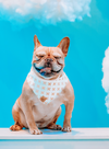 Cute French Bulldog in X Marks the Spot reversible dog bandana made by royal collections and co