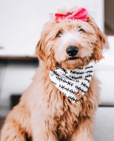 Cute GoldenDoodle Dog in Tahoe Bandana made by Royal Collections and Co,