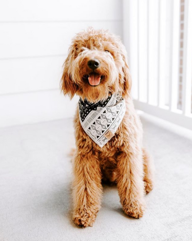 Cute Goldendoodle Dog in Black and White Aztec Dog bandana made by Royal Collections and Co.