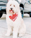 Cute Goldendoodle Dog in Red Wheat Dog Bandana made by Royal Collections and Co.