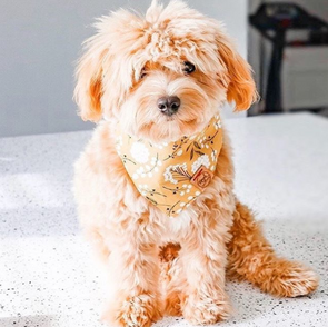 Cute Goldendoodle Puppy in Dark Floral Fall Bandana made by Royal Collections and Co.