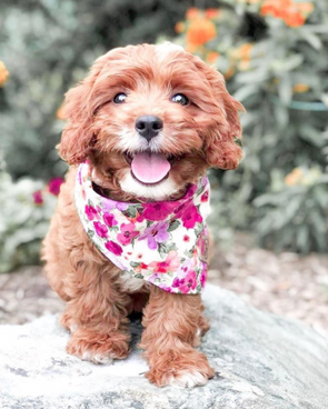 Cute Goldendoodle Puppy in Garden Party Summer Reversible Dog Bandana made by Royal Collections and Co.