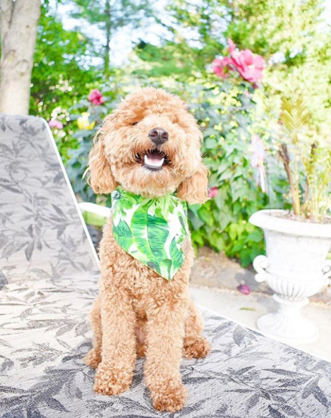 Cute Goldendoodle dog in Amazon Reversible Dog Bandana made by Royal Collections and Co.