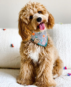 Cute Mini Goldendoodle Dog in Indie Floral Dog Bandana made by Royal Collections and Co.