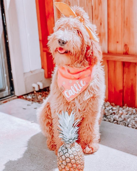 Goldendoodle Dog in Zesty Pineapple Summer Dog Bandana made by Royal Collections and Co.