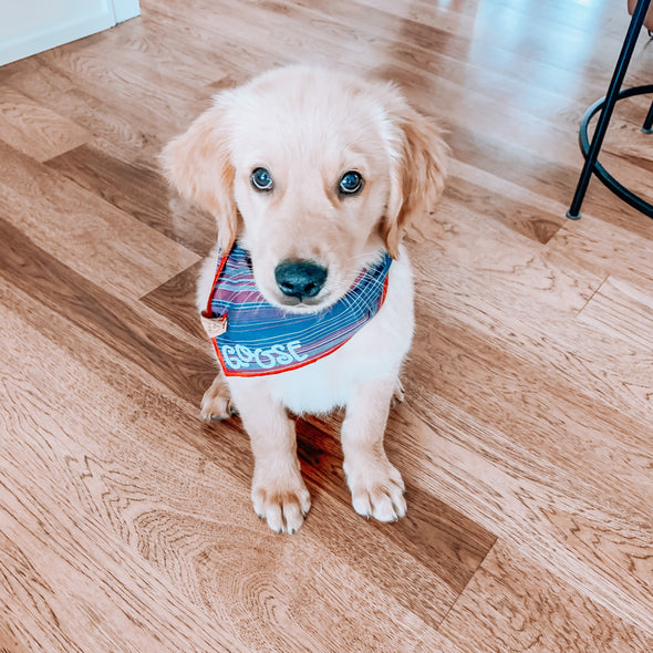 Cute Golden Retriever Puppy In american stripes dog bandana made by royal collections and co