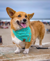 Cute Corgi Dog in X Marks the Spot Reversible Dog Bandana made by Royal Collections and Co.