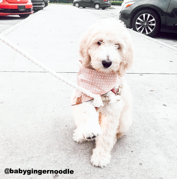 Cute Goldendoodle Dog in Pink and Silver Dots Denim bandana made by Royal Collections and Co.