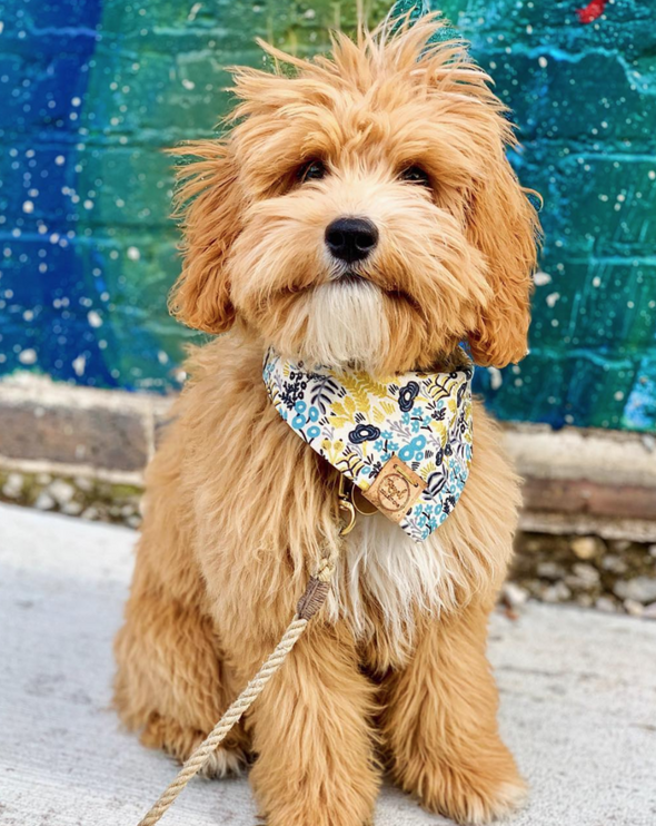 Cute Goldendoodle Dog in Date Night Reversible Dog Bandana made by Royal Collections and Co.