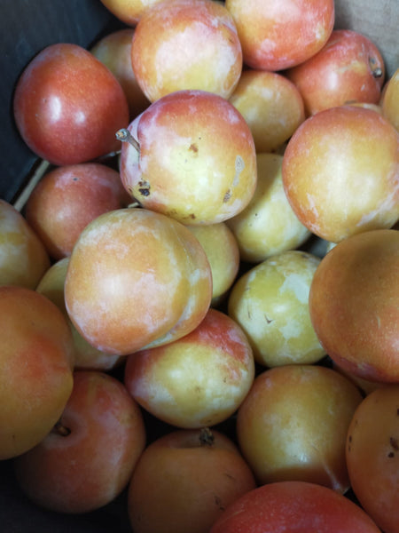Seconds Plums per1kg (NZ Songold)