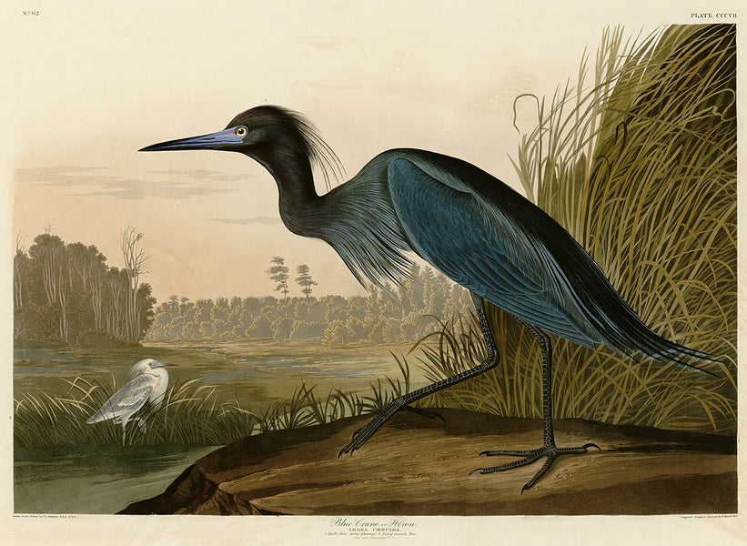 Audubon Prints - Collecting the Art of Audubon