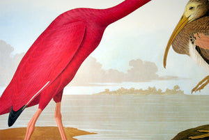 Detail of Abbeville Press Audubon limited edition lithograph of pl. 397 Scarlet Ibis