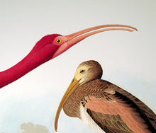 Load image into Gallery viewer, Detail of Abbeville Press Audubon limited edition lithograph of pl. 397 Scarlet Ibis