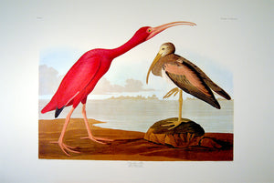 Full sheet view of Abbeville Press Audubon limited edition lithograph of pl. 397 Scarlet Ibis
