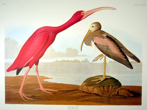 Closer view of Abbeville Press Audubon limited edition lithograph of pl. 397 Scarlet Ibis